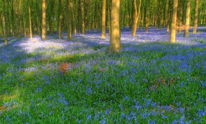 Bluebells - as risk from climate change and other aspects of economic progress?