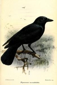 Bright bird - Corvus moneduloides, New Caledonian Crow