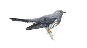 Cuckoo - under threat
