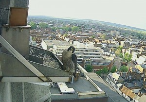 One of the Aylesbury pergrines, on its nest above the town, May 2012