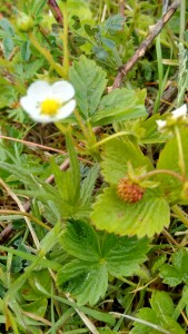 Wild strawberries - food for free and part of our natural capital
