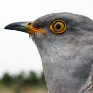 Ash, one of the cuckoos being tracked by the BTO